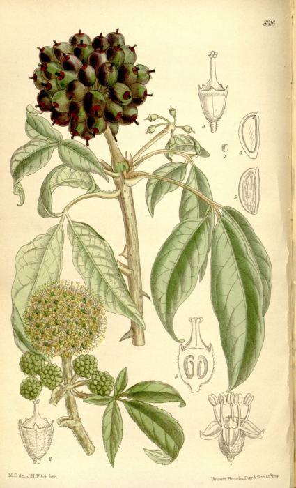 kolcosil-henryego-litografia.jpg