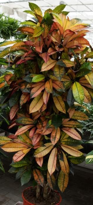 kroton-drzewko.jpg