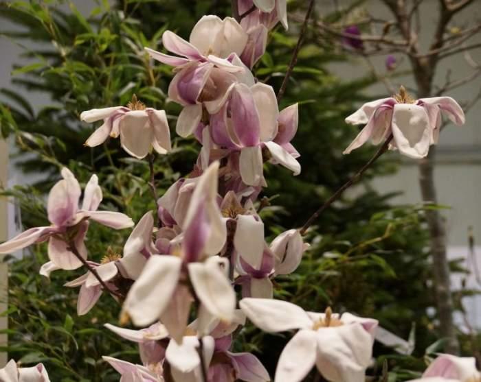 magnolia-kwiaty.jpg