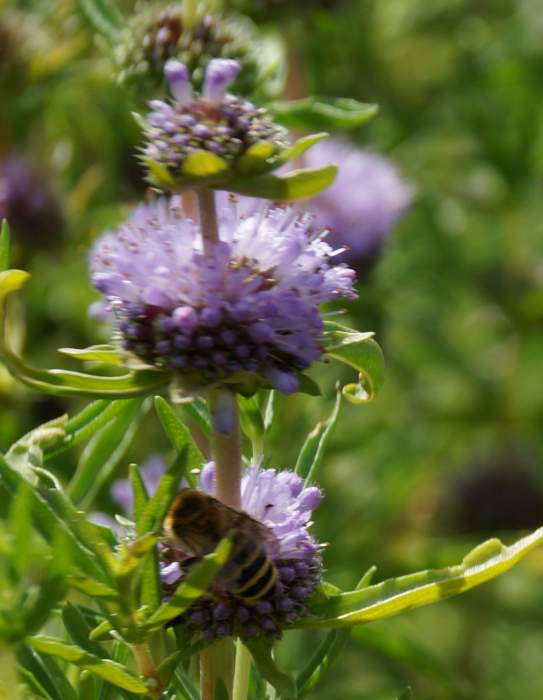mentha-cervina-kwiat-pszczola.jpg