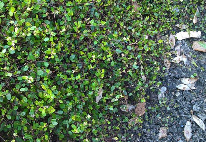 muehlenbeckia-axillaris.jpg