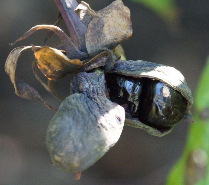 nasiona-nasienniki-piwinia-delawaya.jpg
