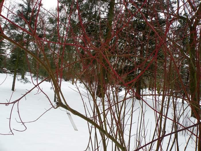 ogrod-botaniczny-cornus-pubescens.jpg