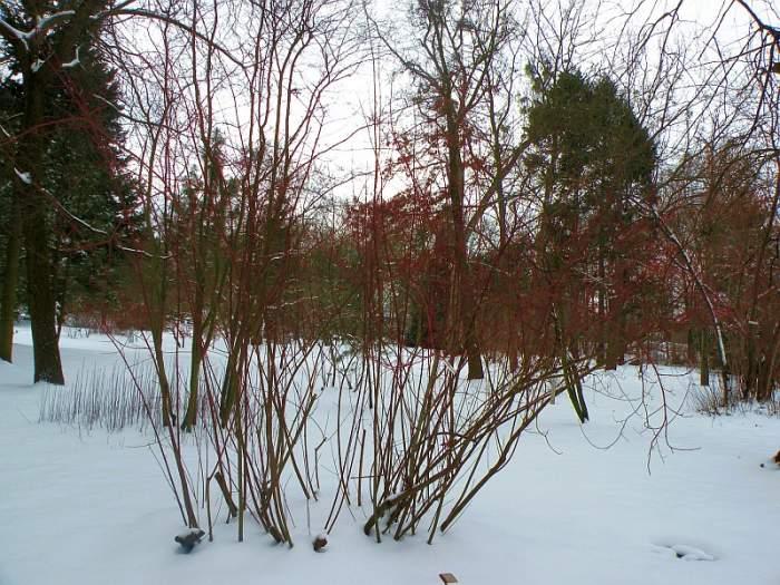 ogrod-botaniczny-cornus-pubescens1.jpg