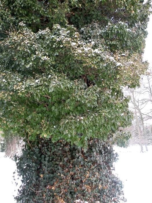 ogrod-botaniczny-hedera.jpg