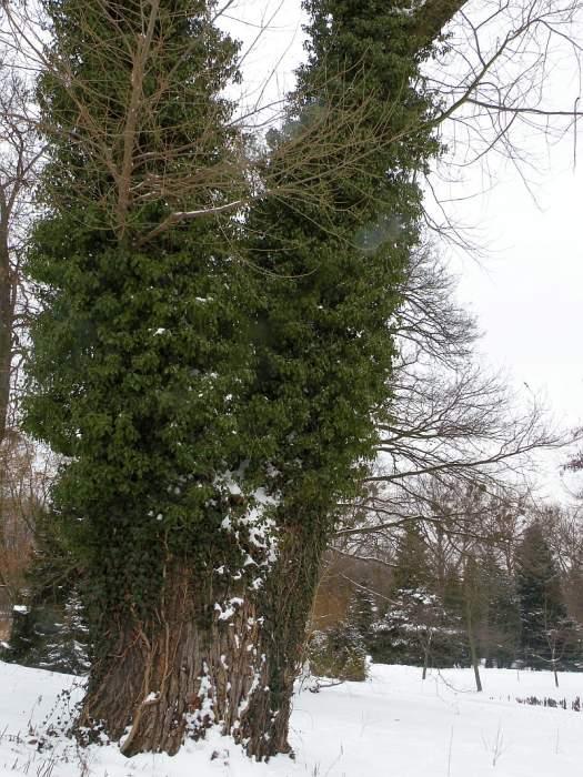ogrod-botaniczny-hedera1.jpg