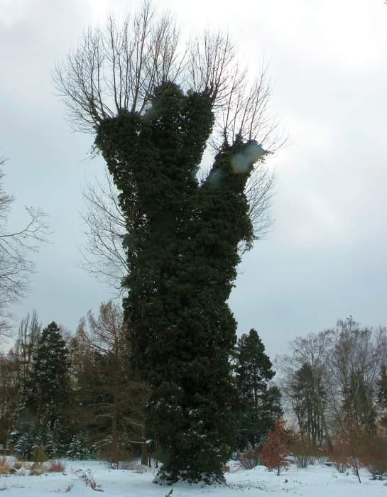 ogrod-botaniczny-hedera2.jpg