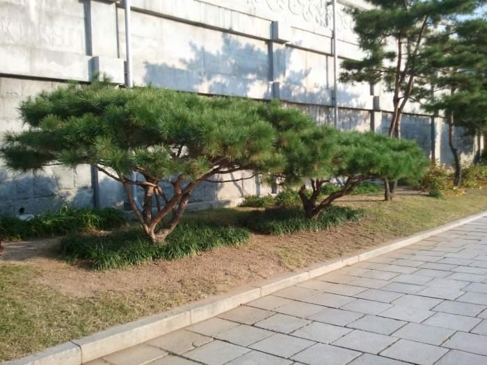 ogrod-japonski-korea-drzewa-topiary1.jpg