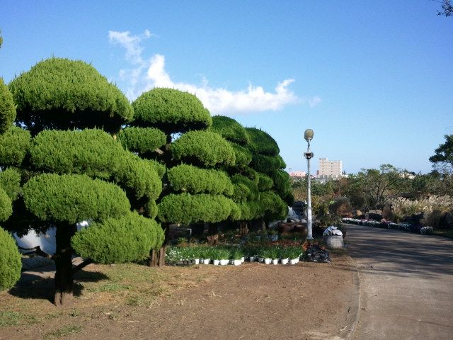ogrod-japonski-korea-drzewa-topiary3.jpg