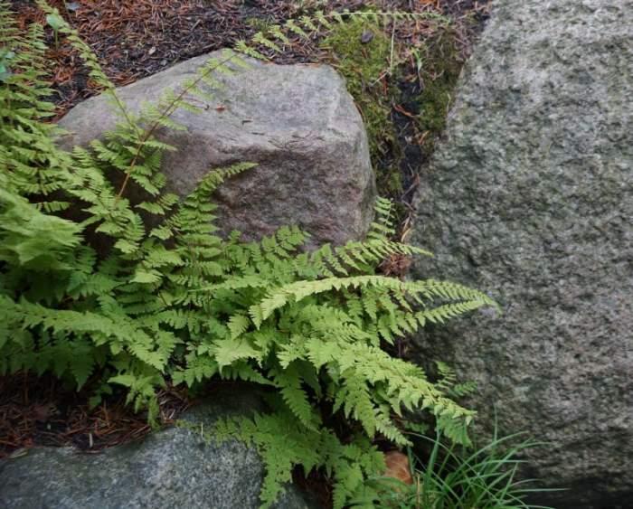 paprocie-alpinarium1.jpg