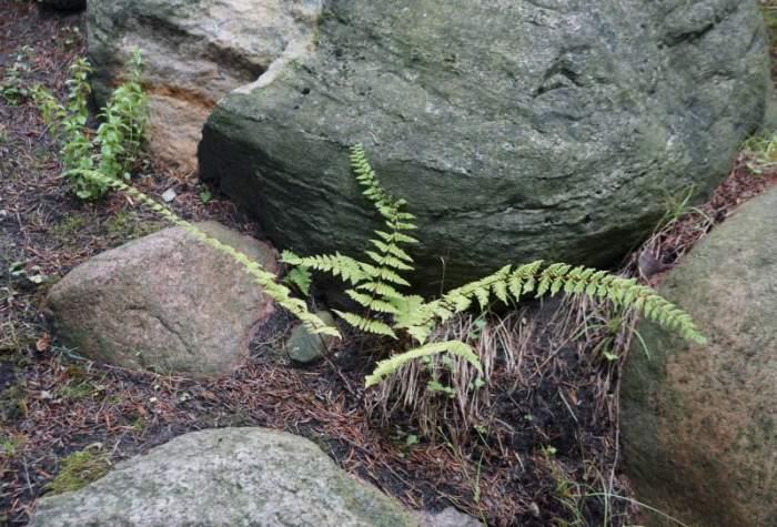 paprocie-alpinarium2.jpg