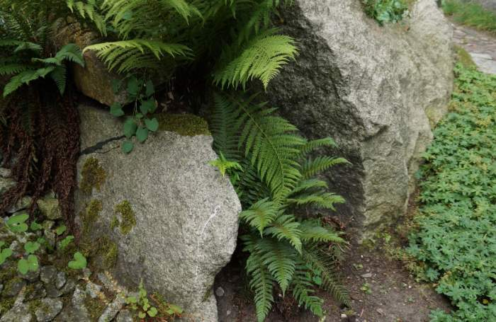 paprotnik-kolczysty-alpinarium.jpg