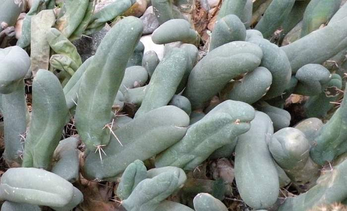 penis-kaktus.jpg