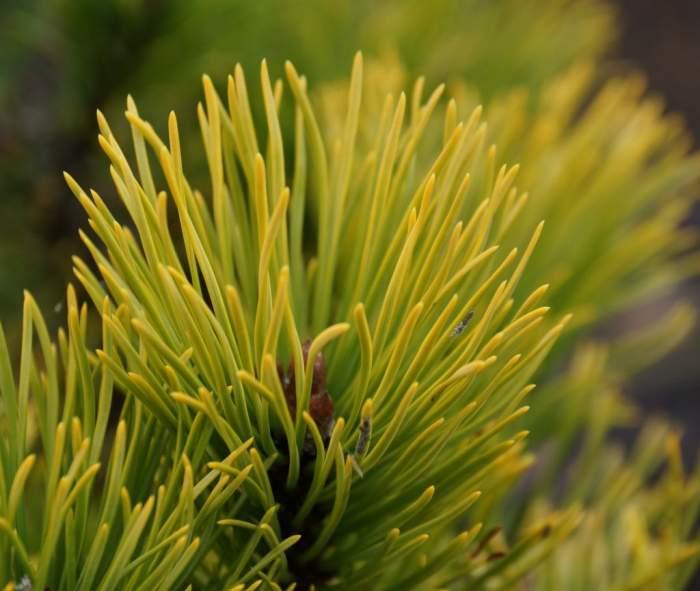 pinus-mugo-december-gold-krzew-igly.jpg