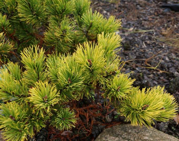 pinus-mugo-december-gold-krzew.jpg
