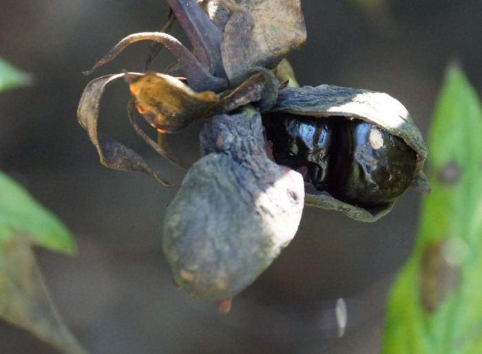 piwonia-delavaya-nasiona.jpg