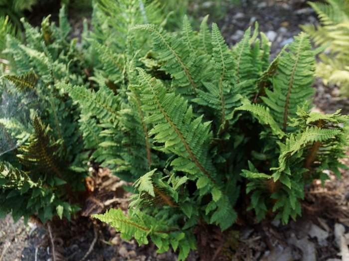 polistichum-setiferum-congestum-kepa.jpg