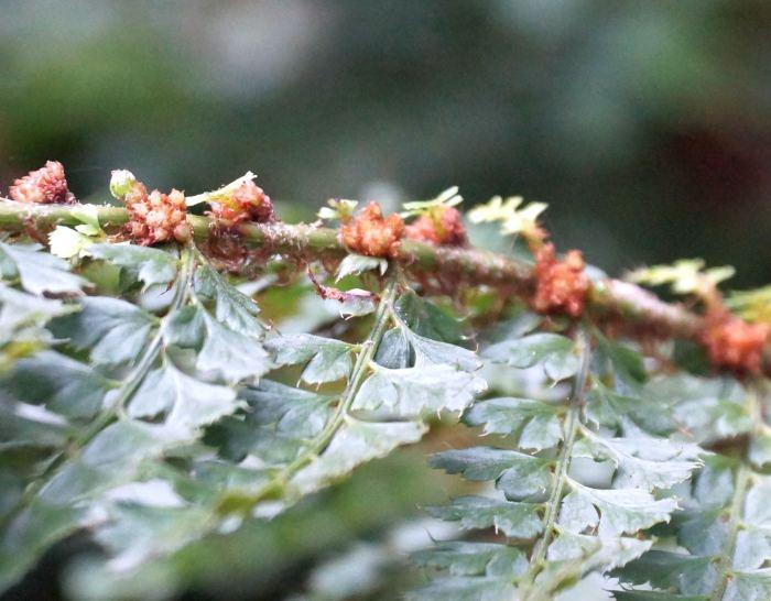 polistichum-setiferum-nantes-rozmnozki.jpg