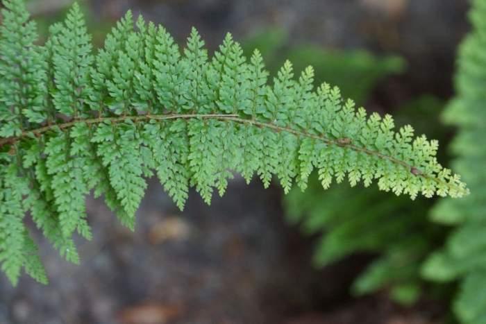 polistichum-setiferum-plumosum-densum-lisc.jpg