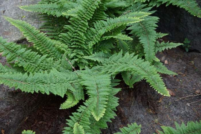 polistichum-setiferum-plumosum-densum1.jpg