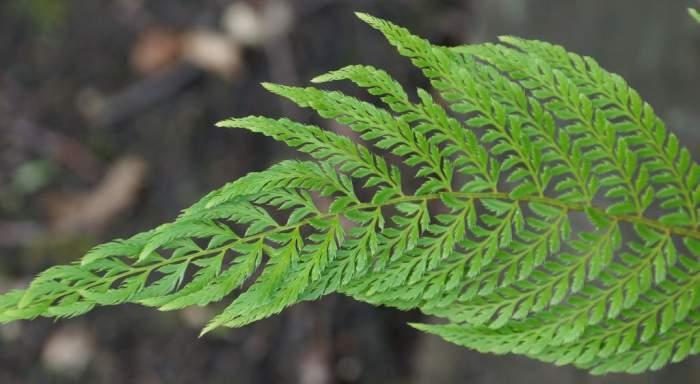 polystichum-setiferum-pulcherrimum-bevis-lisc.jpg
