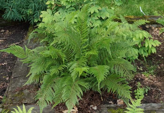 polystichum-setiferum-pulcherrimum-bevis.jpg