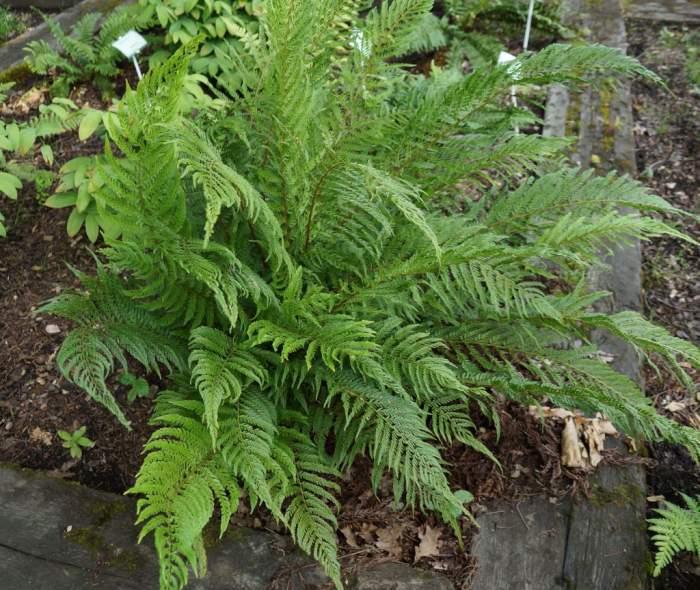 polystichum-setiferum-pulcherrimum-bevis1.jpg