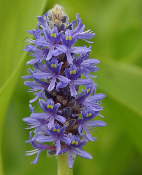 potentilla-cordata-kwiat.jpg