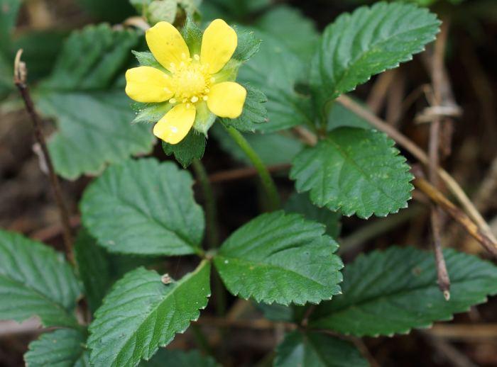 poziomkowka-indyjska-kwiat-2.jpg