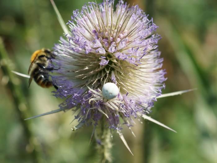 pszczola-pajak.jpg