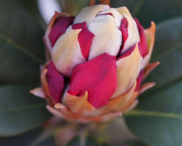 rododendron-Vorwerk-Abendsonne.jpg