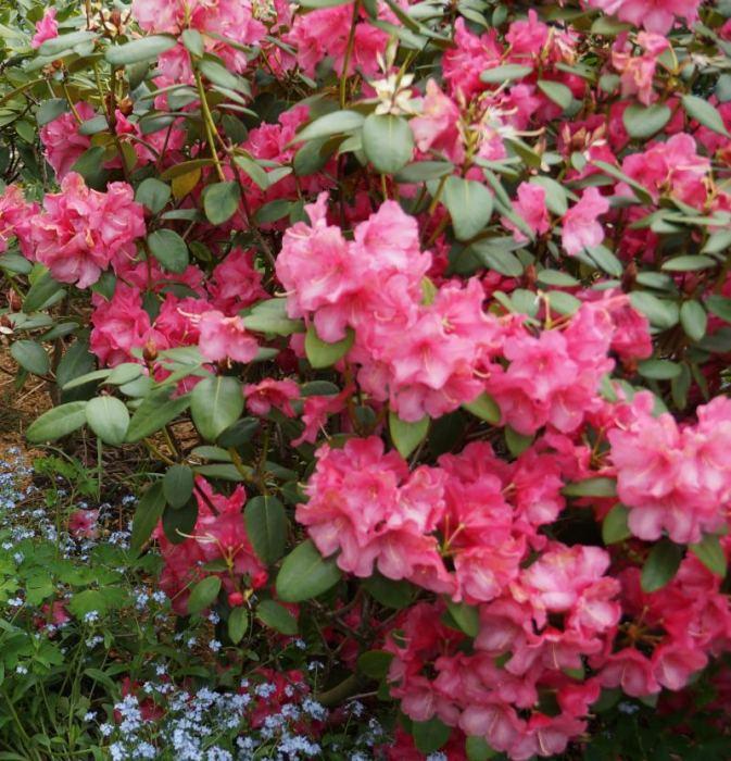 rododendron-nn1.jpg
