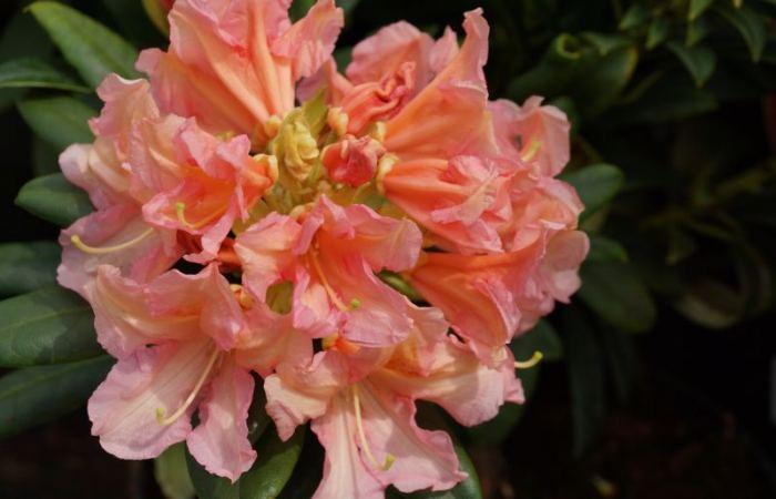 rododendron-orangina.jpg