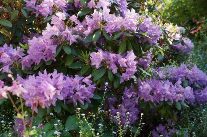 rododendron-rozowy-pozny.jpg