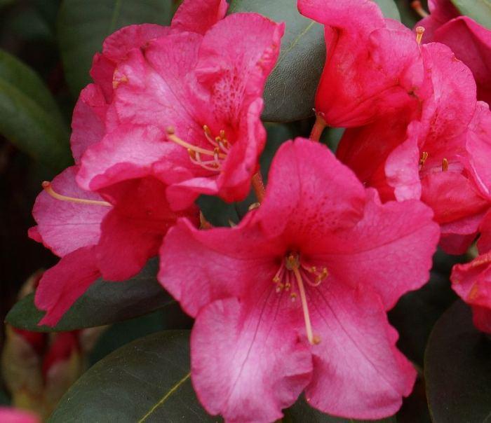 rododendron-rozowy-wczesny-kwiat.jpg