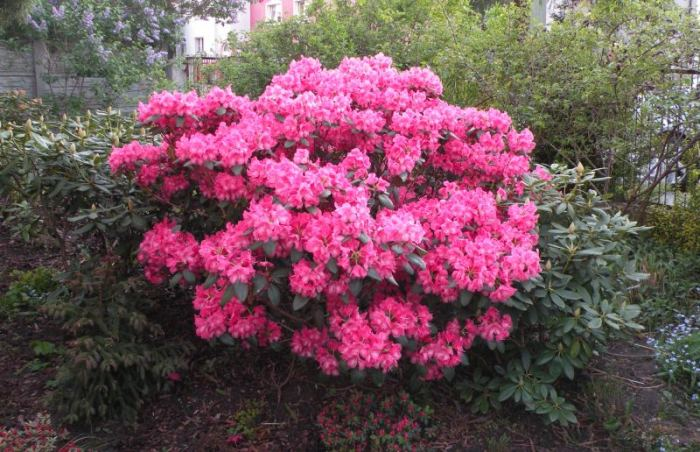 rododendron-rozowy.jpg