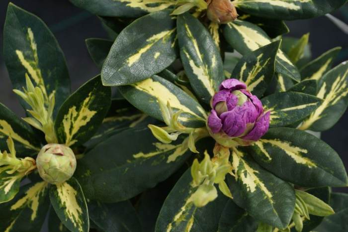 rododendron-variegata.jpg
