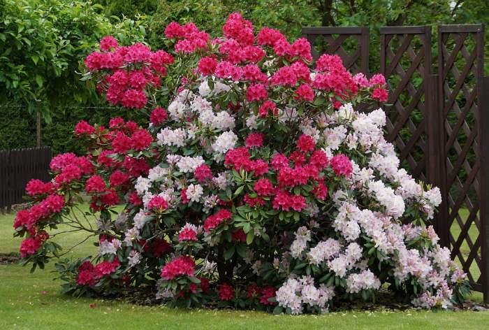 rododendrony2.jpg