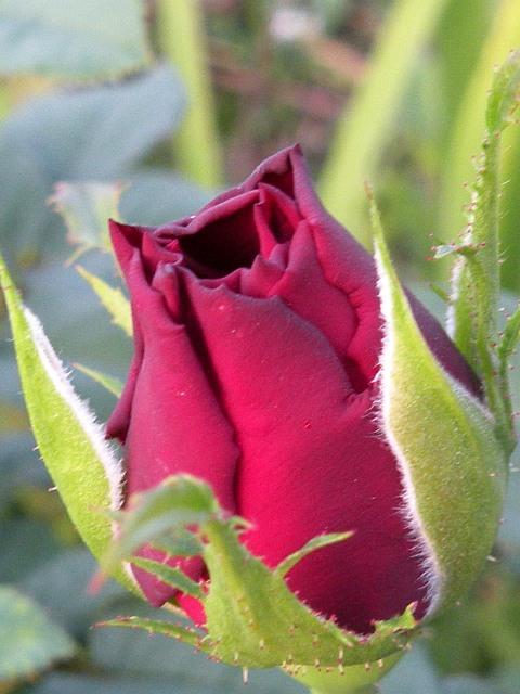 roza-konkurs.jpg