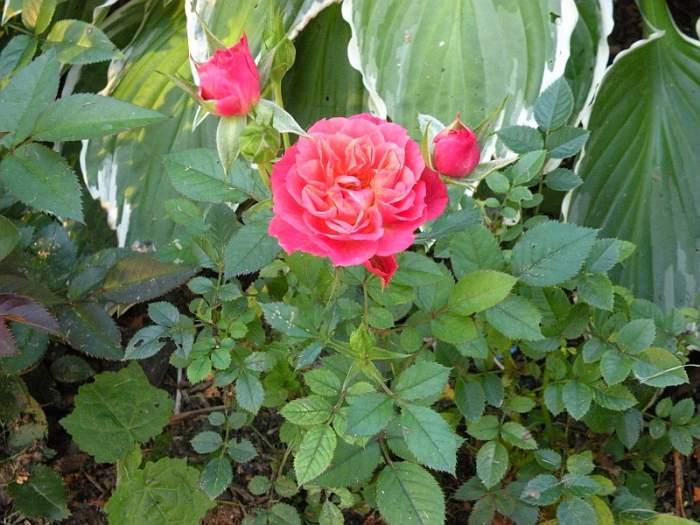 roza-miniatura-1.jpg