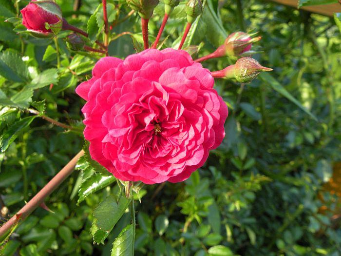 roza-pnaca.jpg