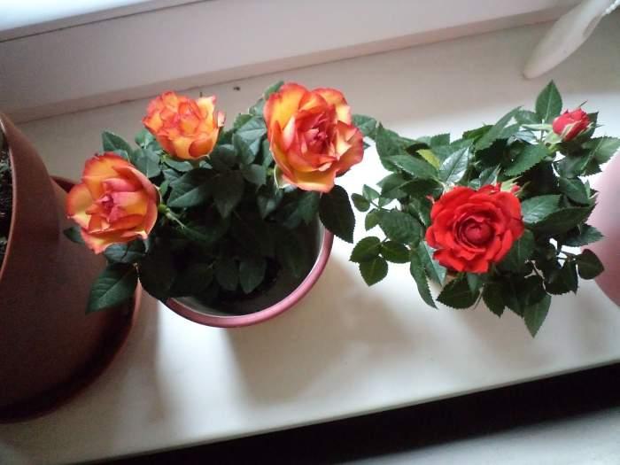 roze-doniczkowe.jpg