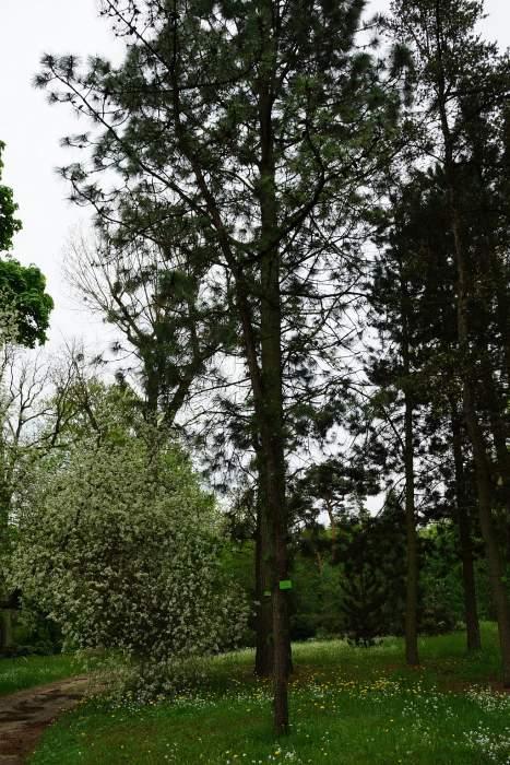 sosna-smolowa-drzewo.jpg