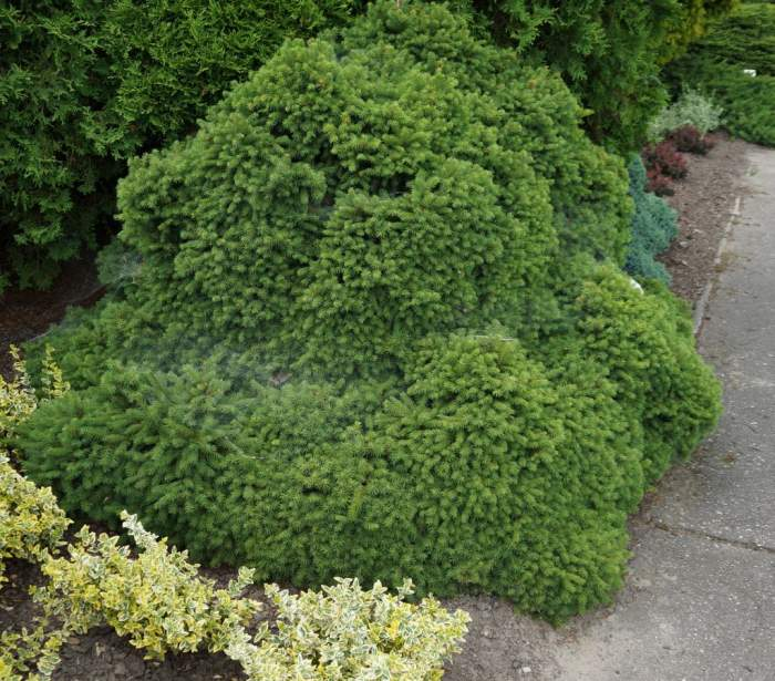 swierk-pospolity-Echiniformis-krzew.jpg