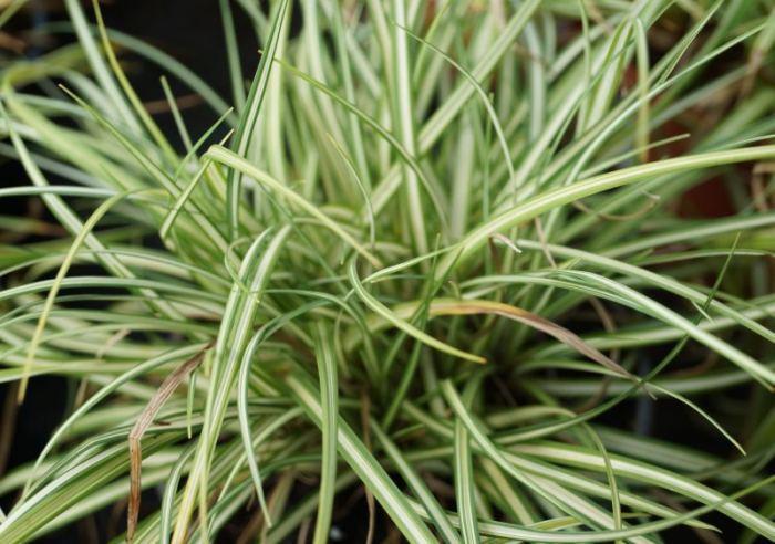 trawy-carex-ornitopoda.jpg