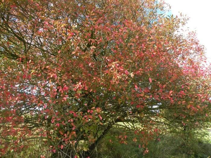 trzmielina-drzewko.jpg