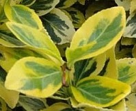 trzmielina-emerald-gold.jpg