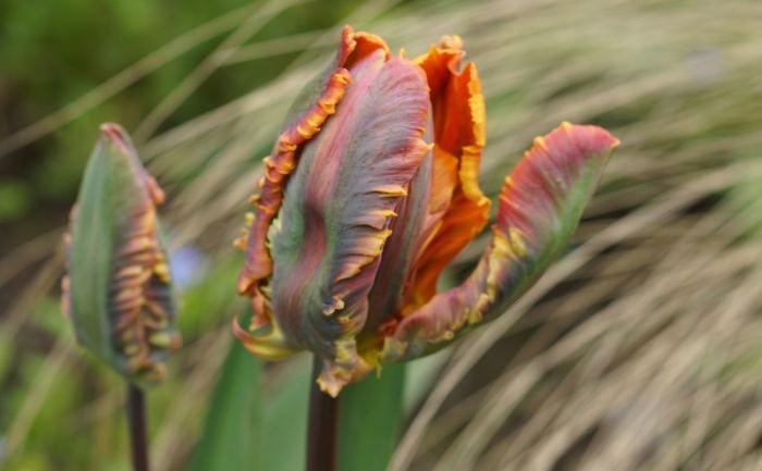 tulipan1-2017.jpg