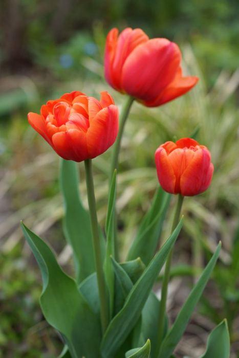 tulipany-2017.jpg