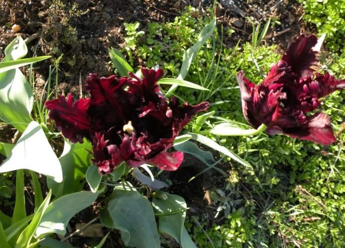 tulipany-czarne.jpg